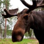 La Suède et ses élans